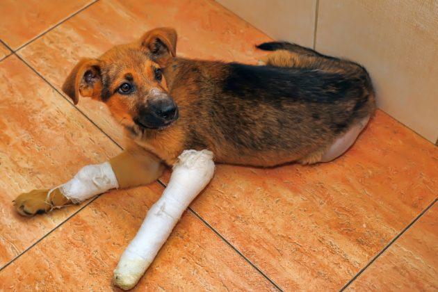 Собака сломала лапу – что делать?