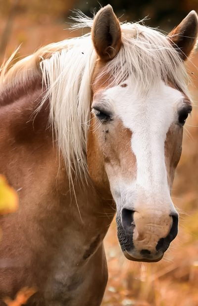 equine-3204312_1920